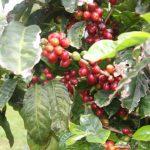 Kikis-Azoren Garten Kaffebohne