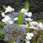 Kikis-Azoren Garten Hortensie