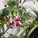 Kikis-Azoren Garten Fuchsie