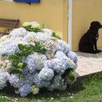 Kikis-Azoren Garten Hortensien