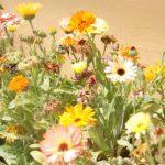 Kikis-Azoren Garten Ringelblume