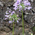 Kikis-Azoren Garten Zierlauch