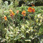 Kikis-Azoren Garten Canna Indica