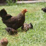 Huhn und Küken Kikis-Azoren